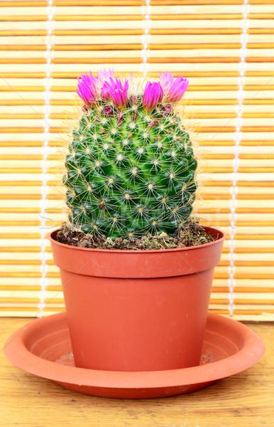 цветения кактус зеленый природы лет Сток-фото © dengess