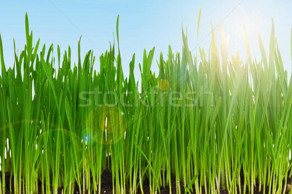 Trigo grama fresco verde campo de grama blue sky Foto stock © DenisNata