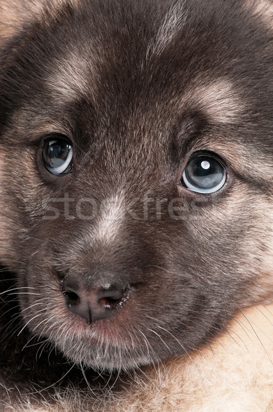 Cute puppy Stock photo © DenisNata