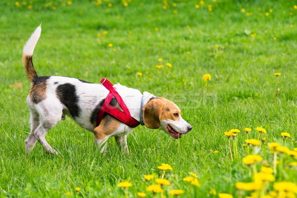 Cães jogar parque belo engraçado bigle Foto stock © DenisNata