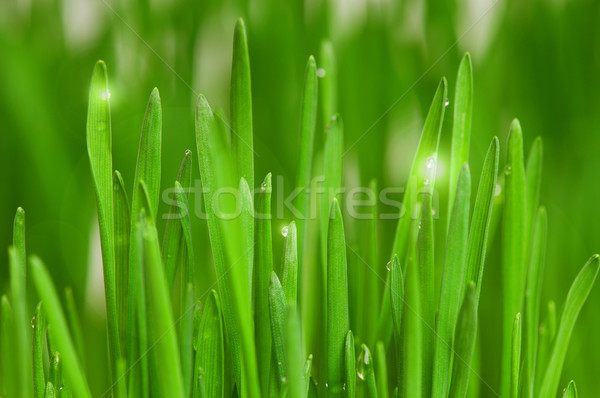 Wheat grass Stock photo © DenisNata