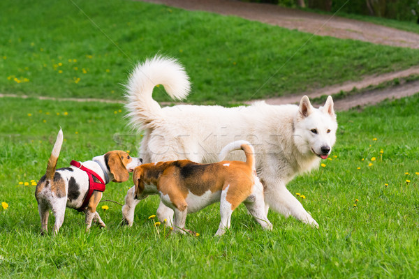 Dogs playing at park Stock photo © DenisNata