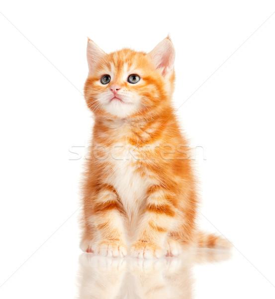 Vermelho gatinho bonitinho pequeno isolado branco Foto stock © DenisNata