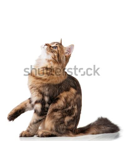 Cute cat Stock photo © DenisNata