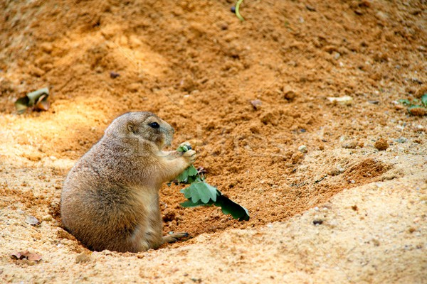 Black-tailed prairie dog Stock photo © Dermot68