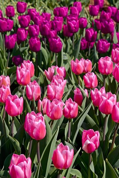 Colorido tulipas foto detalhes tulipa Foto stock © Dermot68