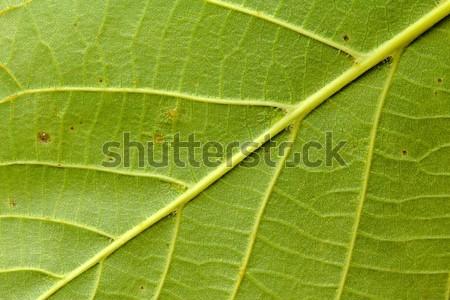 Feuille verte texture photo détail arbre résumé Photo stock © Dermot68