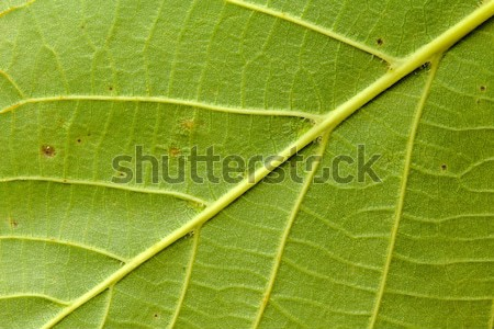 Groen blad textuur foto detail boom abstract Stockfoto © Dermot68