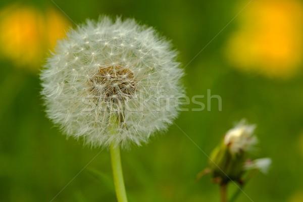 白 タンポポ 写真 緑 葉 庭園 ストックフォト © Dermot68