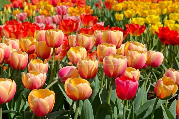 Kleurrijk tulpen foto details tulp Stockfoto © Dermot68