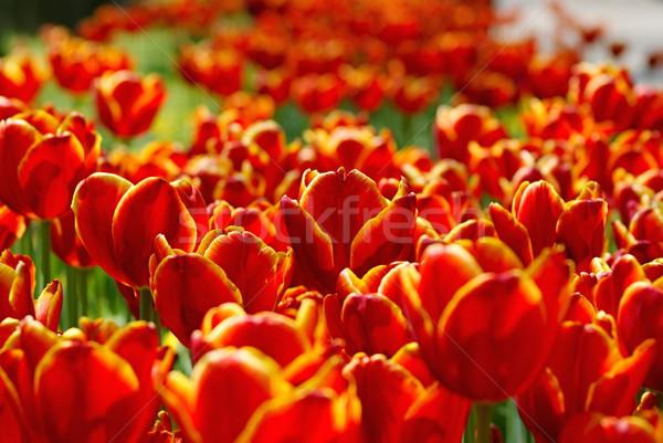カラフル 花 写真 抽象的な ストックフォト © Dermot68