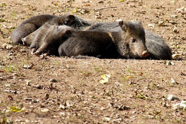 リラックス 豚 写真 クローズアップ 自然 ストックフォト © Dermot68