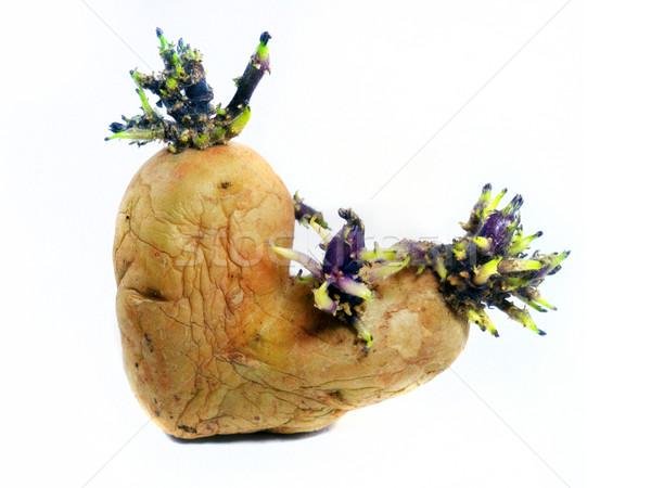 potato sprouts Stock photo © designsstock