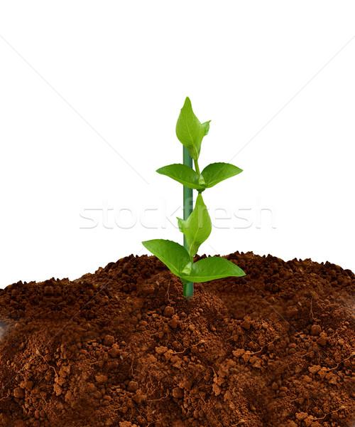 зеленый завода молодые белый лист темно Сток-фото © designsstock