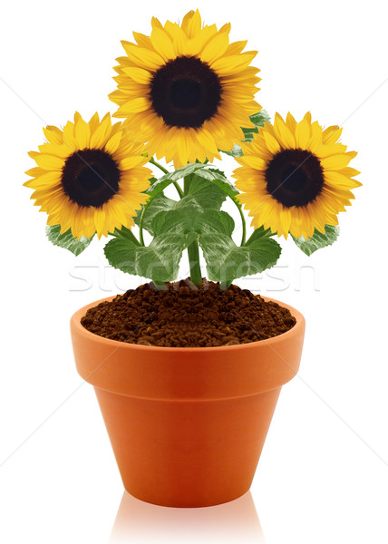 Tournesol argile pot isolé blanche arbre Photo stock © designsstock