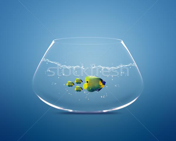 Stock photo: big angelfish leading group of angelfish