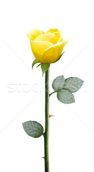 Taze sarı çiçek yalıtılmış beyaz alfa Stok fotoğraf © designsstock