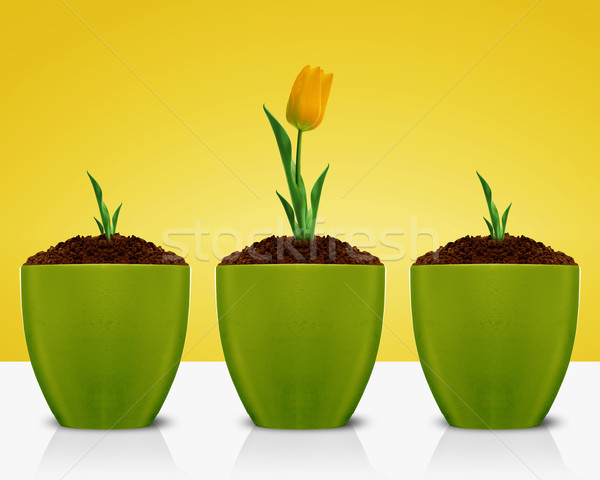 Yellow Tulips growing Stock photo © designsstock