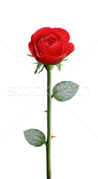 新鮮な 黄色の花 赤いバラ 孤立した 白 ストックフォト © designsstock