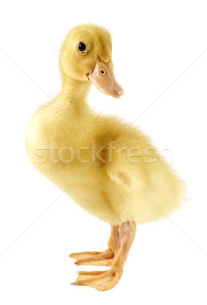 Komik sarı ördek yavrusu yaş yalıtılmış beyaz Stok fotoğraf © designsstock