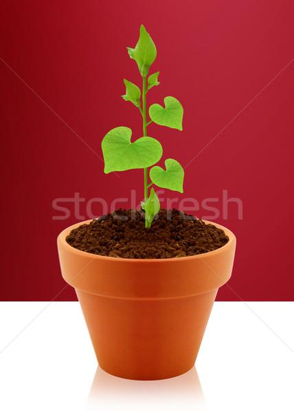 Coração folhas jovem planta jardim Foto stock © designsstock