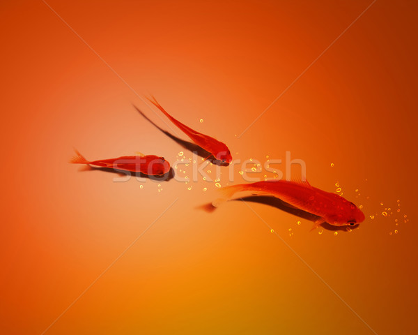 three golden fish in water together Stock photo © designsstock