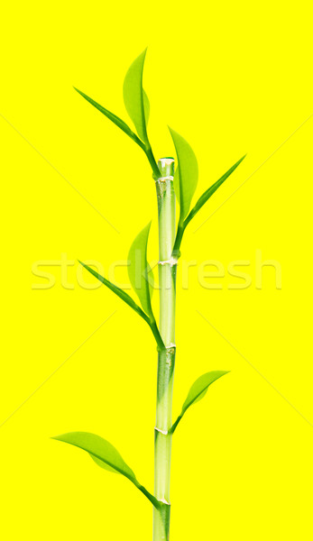 Green Bamboo  Stock photo © designsstock