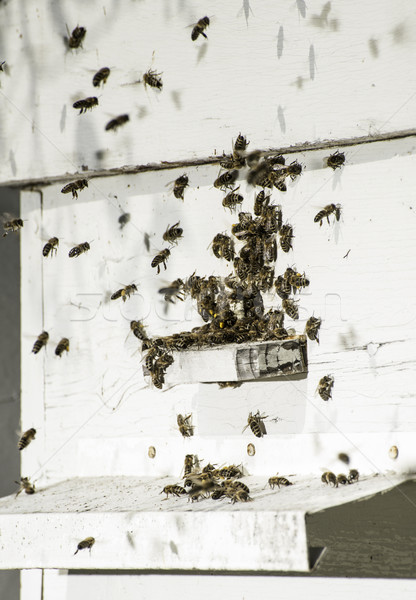 Arılar kovan beyaz aile çalışmak Stok fotoğraf © deyangeorgiev