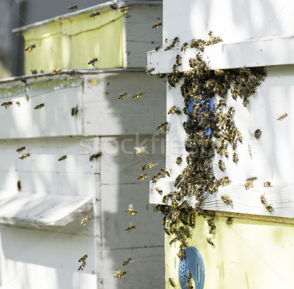 Swarm of bees fly to beehive. Stock photo © deyangeorgiev