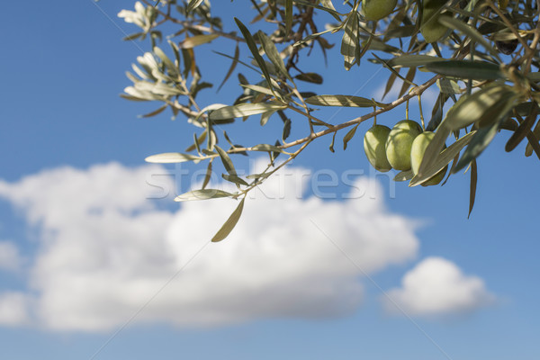 Olive premier plan ciel bleu plantation nature Photo stock © deyangeorgiev