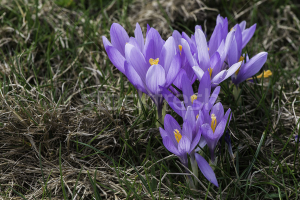 Blue crocus Stock photo © deyangeorgiev