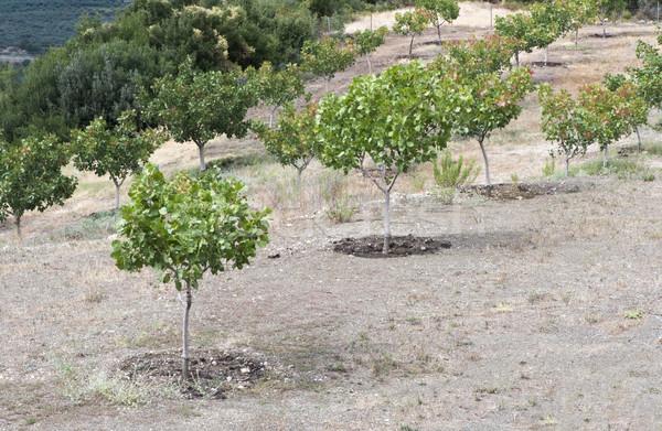 Pisztácia fák Görögország ültetvény háttér nyár Stock fotó © deyangeorgiev