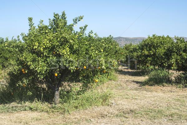 Naranja árboles plantación agricultura frutas verde Foto stock © deyangeorgiev