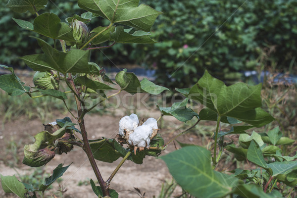 Cotton plantation Stock photo © deyangeorgiev