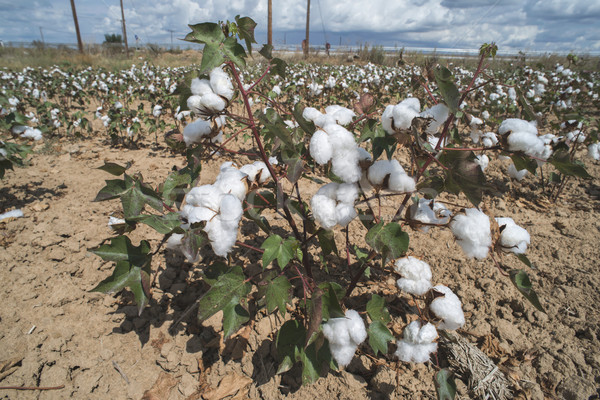 Cotton plants field Stock photo © deyangeorgiev