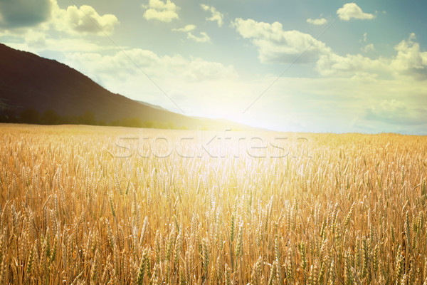 Cereal crops and sunlight Stock photo © deyangeorgiev