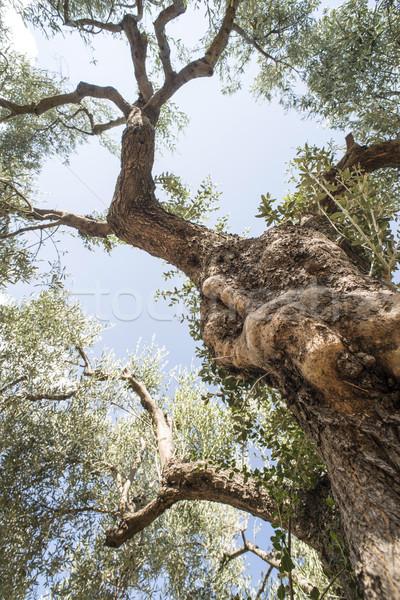 Zeytin ağaçlar tarla tarım arazi arka plan Stok fotoğraf © deyangeorgiev