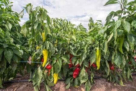 Pimentas campo folha jardim fazenda Foto stock © deyangeorgiev