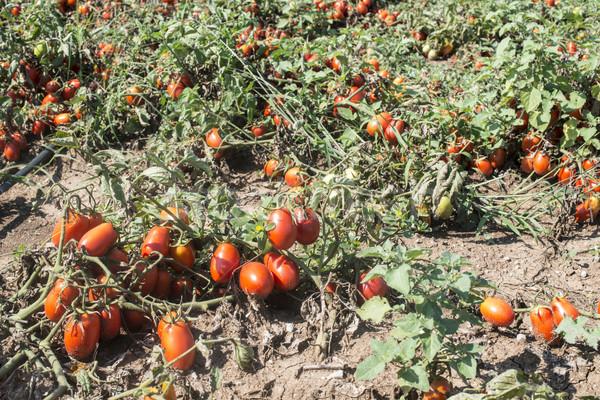 Tomaten gegroeid veld authentiek planten Griekenland Stockfoto © deyangeorgiev