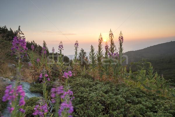 Sunrise in the mountain. Flowers Stock photo © deyangeorgiev