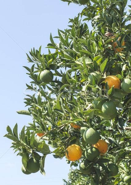 Laranjas ramo laranja árvores plantação Grécia Foto stock © deyangeorgiev