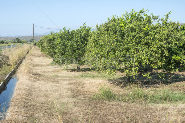 Turuncu ağaçlar tarla tarım Yunanistan meyve Stok fotoğraf © deyangeorgiev