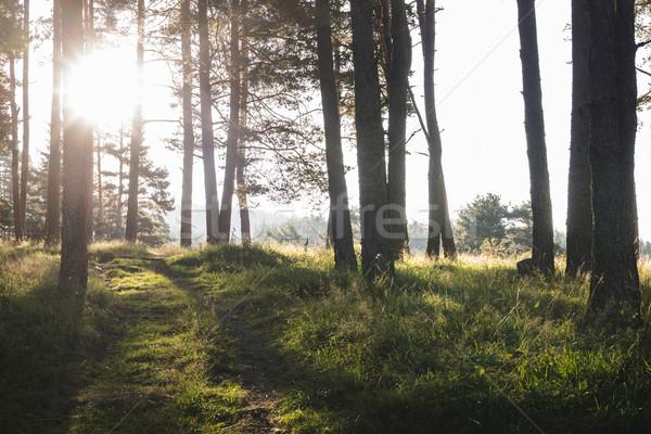 Sunrays in the woods Stock photo © deyangeorgiev
