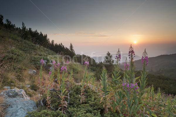Amanecer montana flores Bulgaria flor primavera Foto stock © deyangeorgiev
