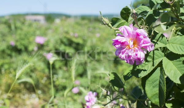Plantage rozen gebruikt parfum industrie Stockfoto © deyangeorgiev