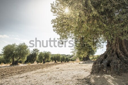 Olive arbres plantation agricole terres fond Photo stock © deyangeorgiev