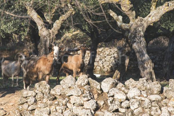 Tame goats among the olive trees Stock photo © deyangeorgiev