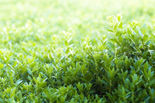 Grass background Stock photo © deyangeorgiev