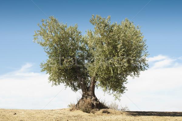 Stock photo: Olive tree on blue sky