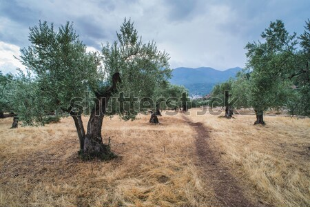 Olive trees Stock photo © deyangeorgiev